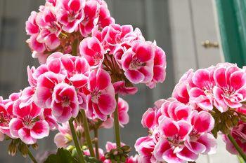 Geranios tu primera opci n para el jard n flores y - Geranio de pensamiento ...